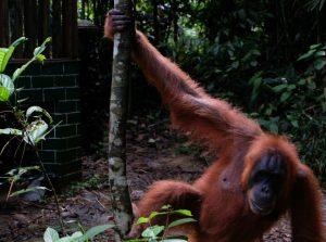 Orang Utan Mutter im Dschungel bei Bukit Lawang